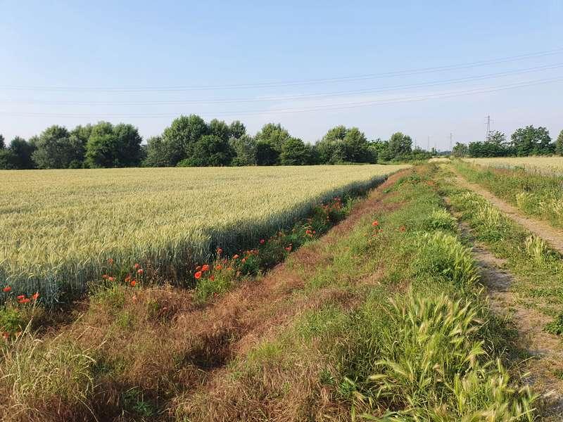 i campi che forniscono le farine per il pane di longoni