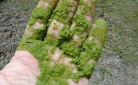 microalghe