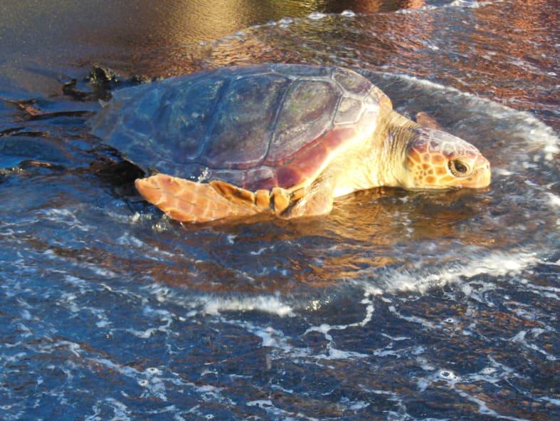 partenza tartaruga marina linosa