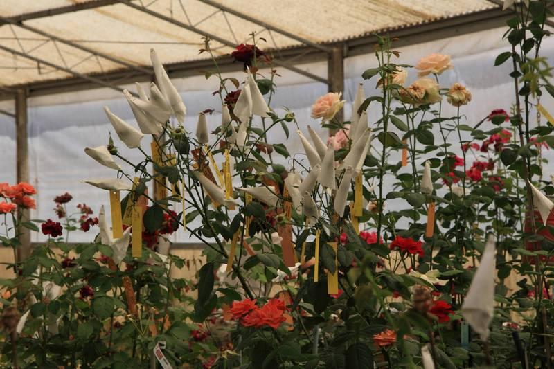 Pomeriggi della rosa: imparare a coltivare rose perfette