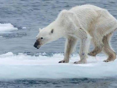 cambiamenti climatici orso dimagrito