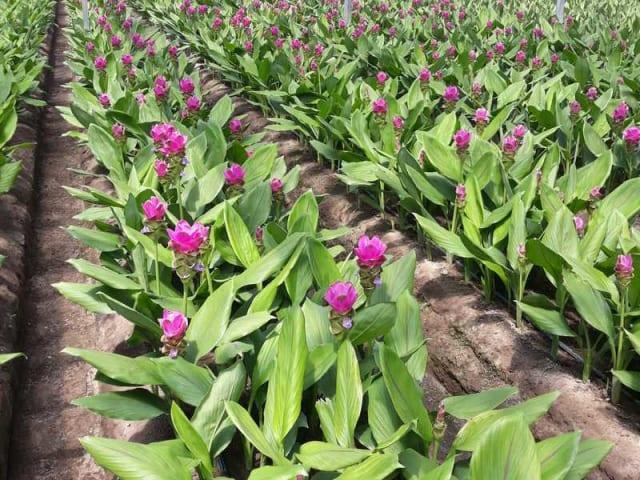 fiore di curcuma