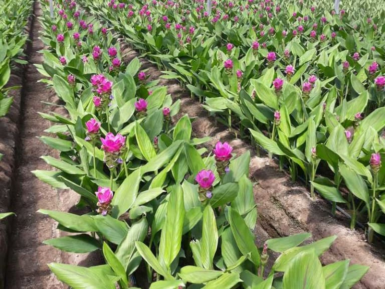 Il fiore di Curcuma, bello e resiliente, è tutto da scoprire