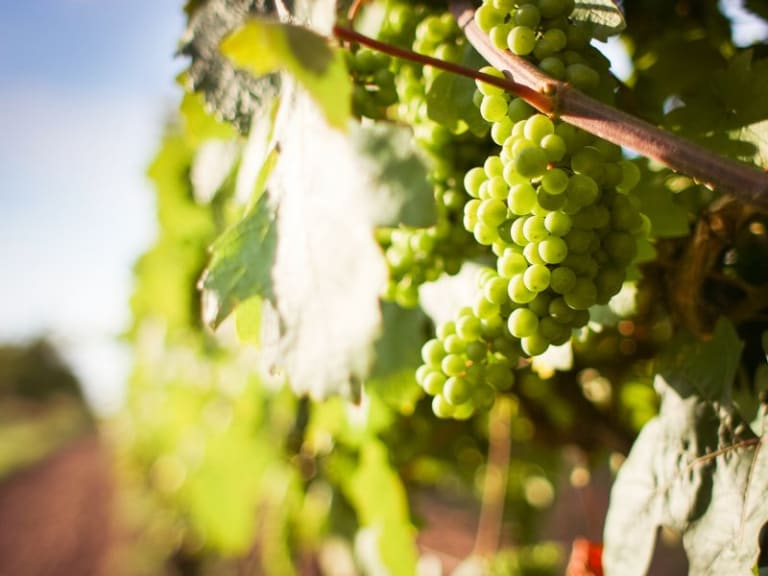 Stop alla chimica: nei vigneti arrivano i vitigni Piwi