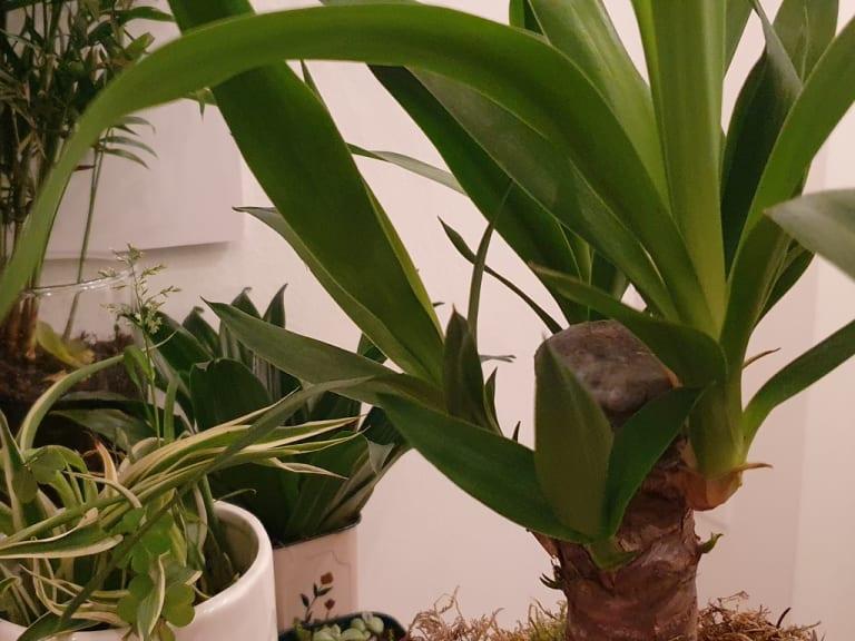 Dracaena, ovvero il tronchetto verde che porta felicità
