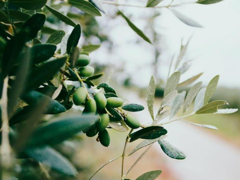 Allarme in Toscana per gli ulivi abbandonati