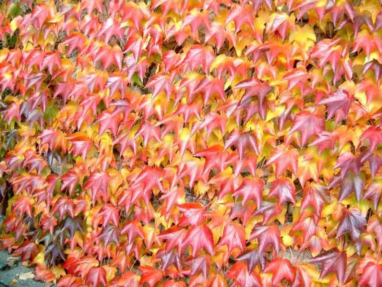 Il foliage fantastico delle rampicanti del Canada