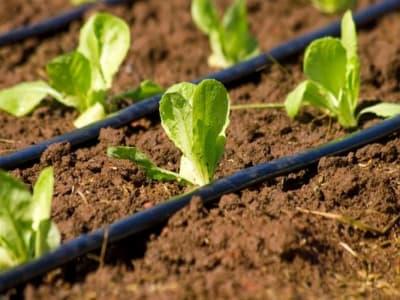 irrigazione a goccia nella risicoltura