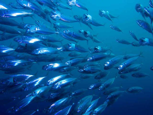 Progetto Interreg Itaca - pesce azzurro