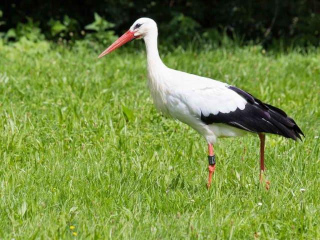 cicogna bianca lipu