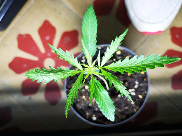 Cannabis light legale, iniziativa a favore di chi combatte il Coronavirus