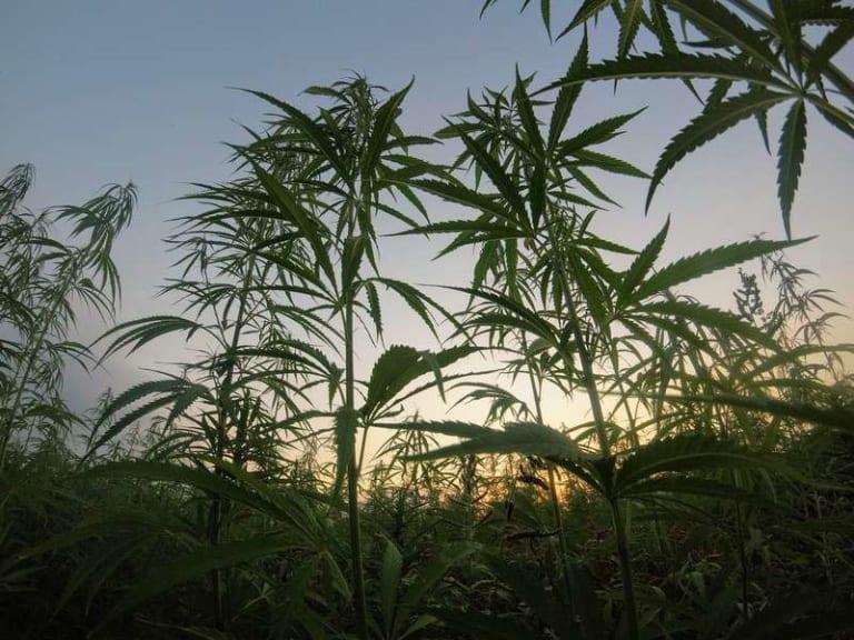 Il green new deal ha un alleato: la canapa