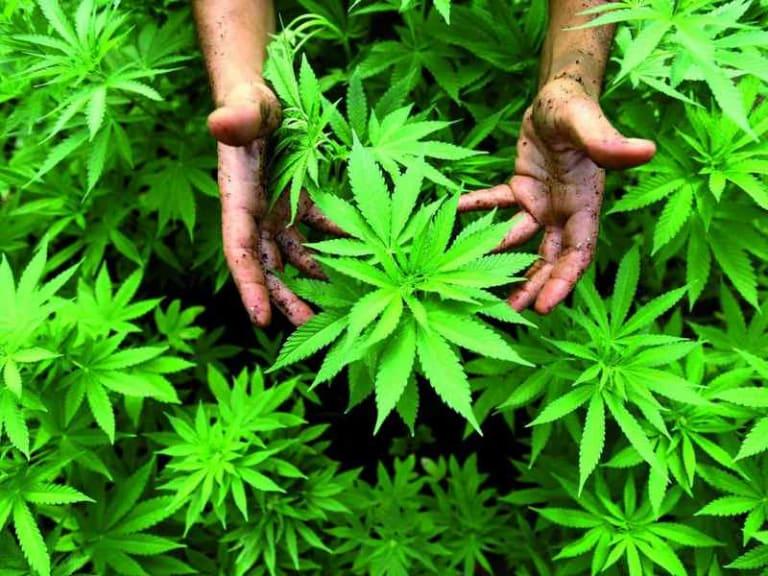 Commenti alla sentenza sulla commercializzazione di prodotti derivati dalla Cannabis light
