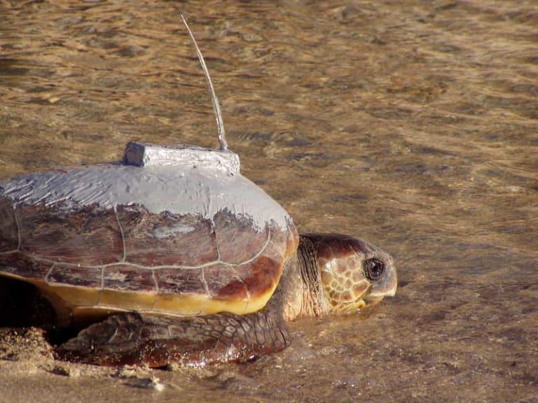 Life Medturtles, progetto europeo per salvaguardare le tartarughe
