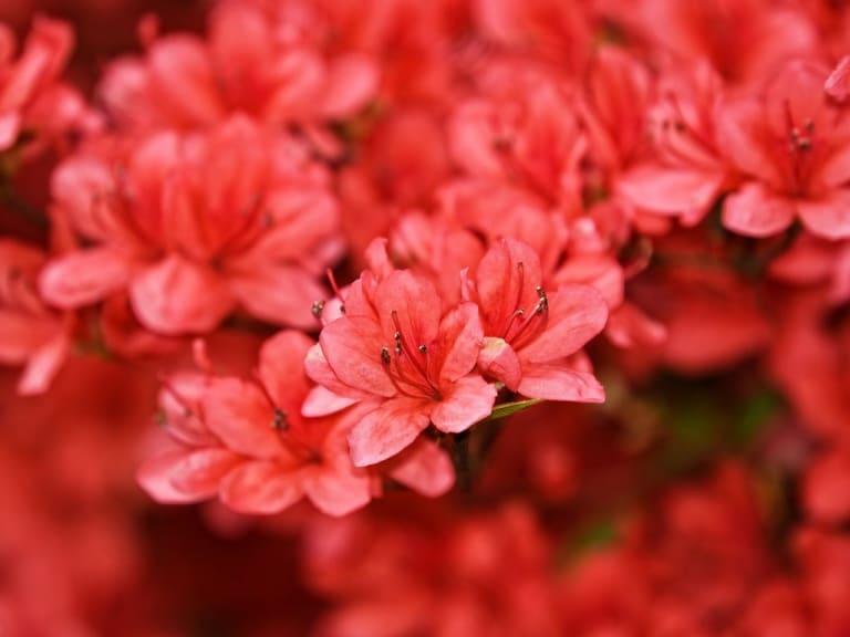 Rododendri e azalee, chiamateli fiori di carattere