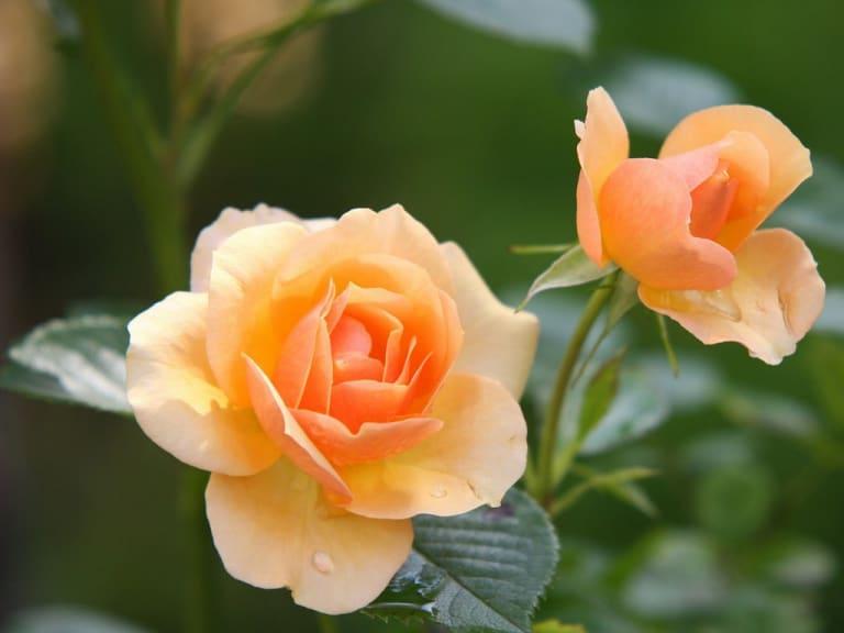 Una, cento, mille rose: prendiamole non per le spine