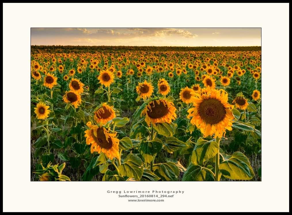 Sunflowers 20160814 294