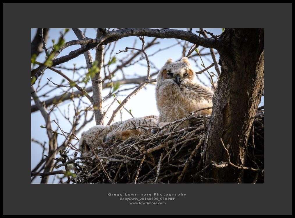 Baby Owls 20160505 018