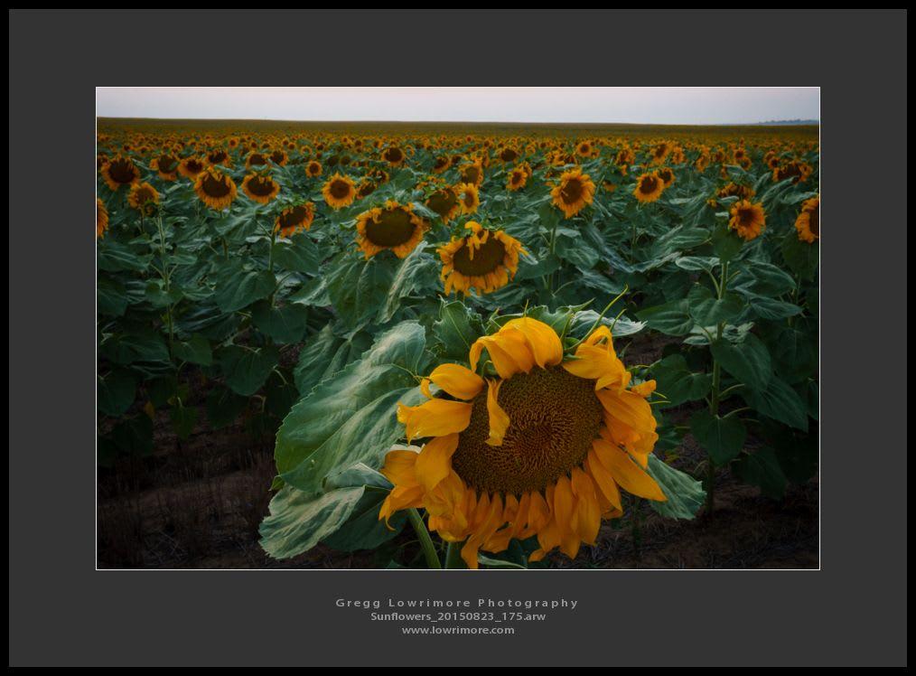 Sunflowers 20150823175