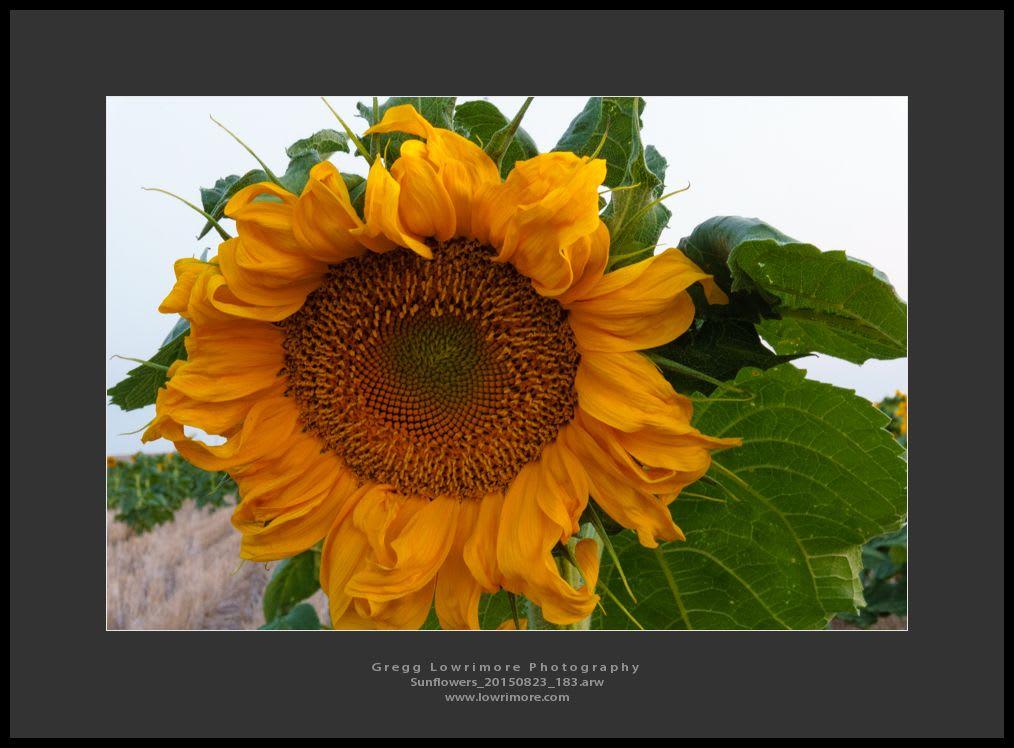 Sunflowers 20150823 183
