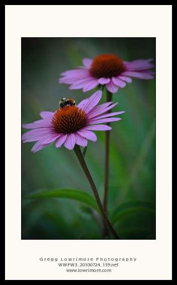 Busy Bee on Echinacea