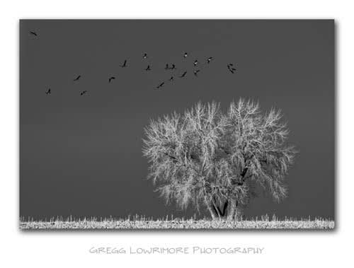 Geese Lighting, Cottonwood Sunset
