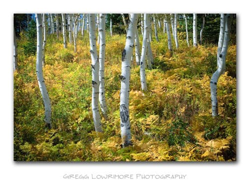 Aspens and Ferns - Steamboat Springs
