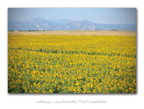Sunflowers - Foothills