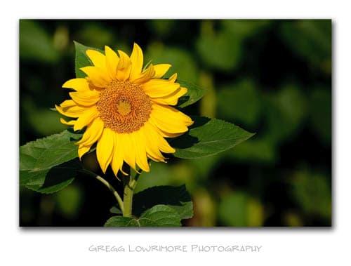 Sunflower - Lone