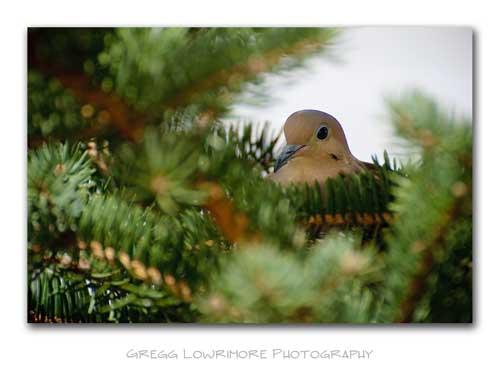 Nesting Mother Dove, Pine Tree