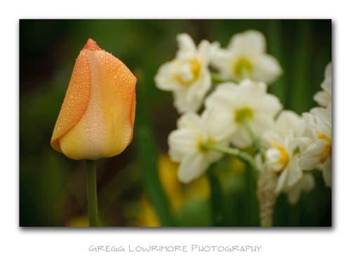 Tulip and White