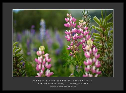 Pink Lupines - Steamboat