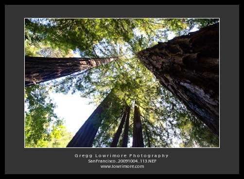 Muir Redwoods - Canopy