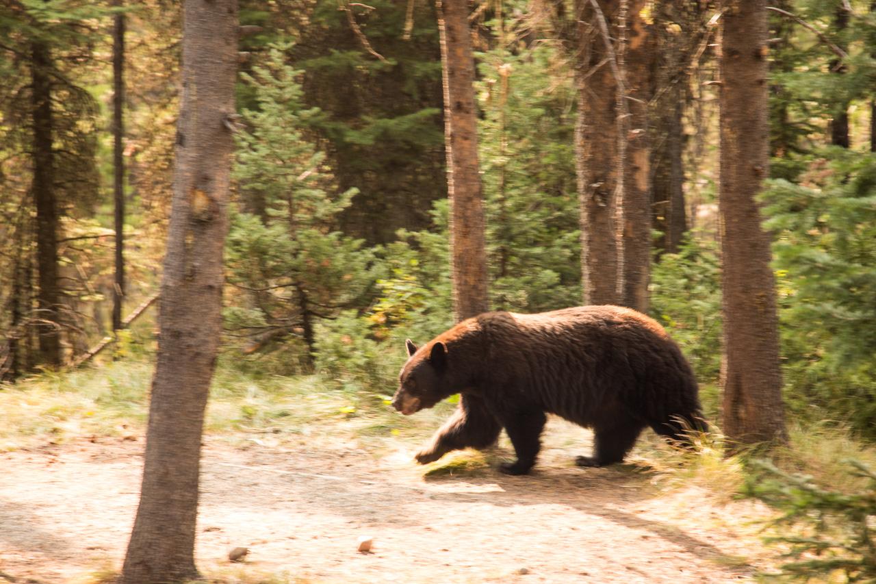 Urso Preto passando tranquilamente pelo nosso camping