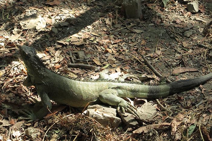Iguanas, um símbolo Equatoriano