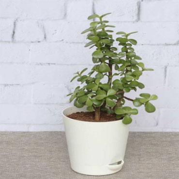 Jade plant (Green) Plant, Elephant bush