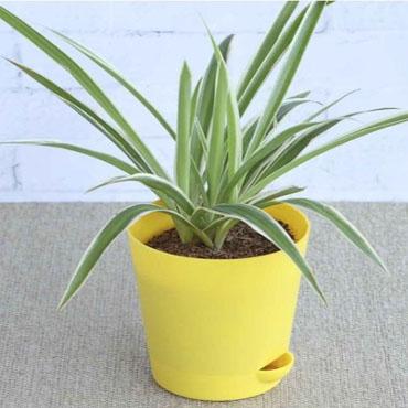 Chlorophytum, Spider Plant (Dark Green) Plant