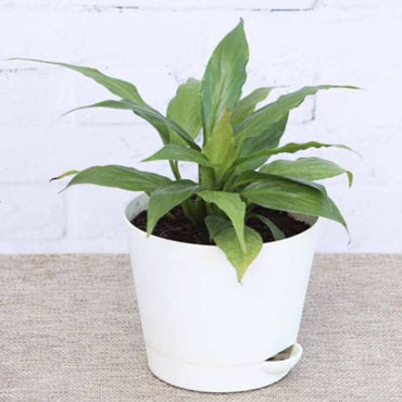 Peace Lily, Spathiphyllum
