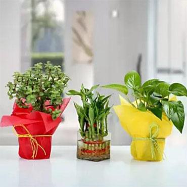 Plant Combo 1