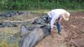 Man lifting up sheet mulch, revealing clear soil
