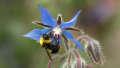 Bumblebee on open blue flower https://www.flickr.com/photos/sarashotley/34874866562/