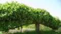 Mature free standing espaliered fruit tree