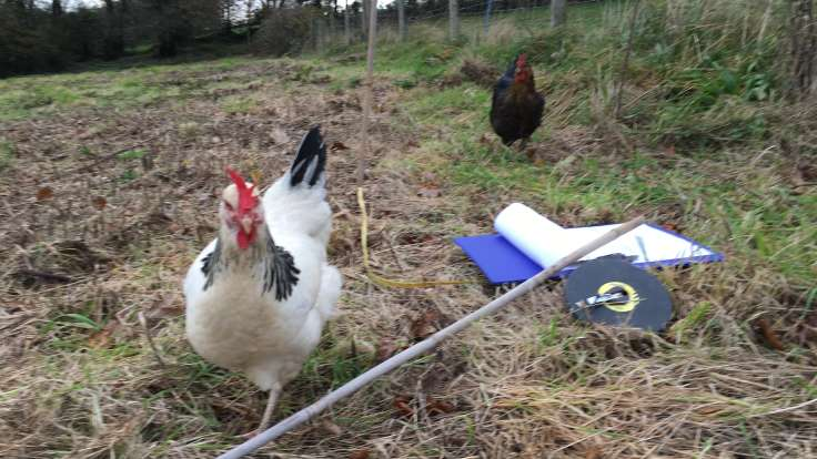 Two chickens running toward camera across measuring tape on rough cut field