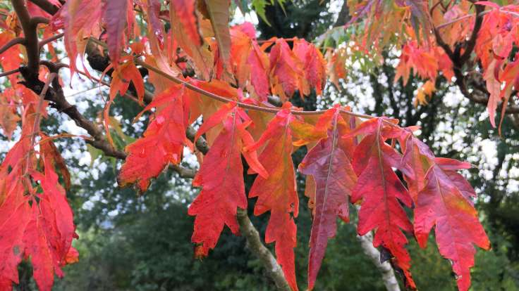 Close up of red autumn leaves on tree