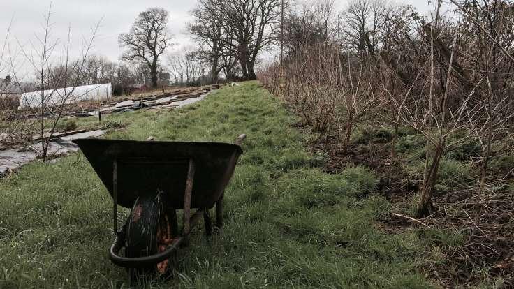 Wheelbarrow in foreground by long hedge receding to oak tree