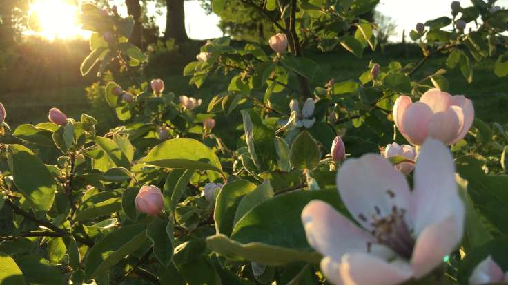 Sunset over close up of white pink blossom