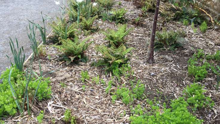Woodchip used as a mulch in a border