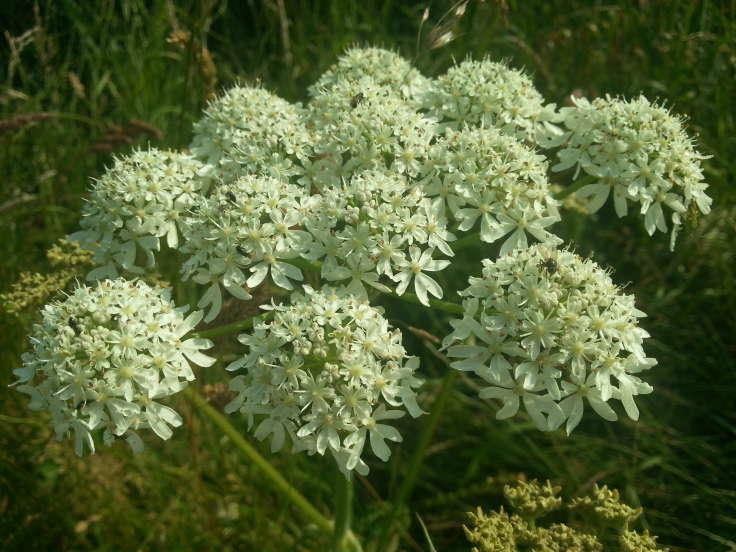 Umbellifer, white umbels of flowers
