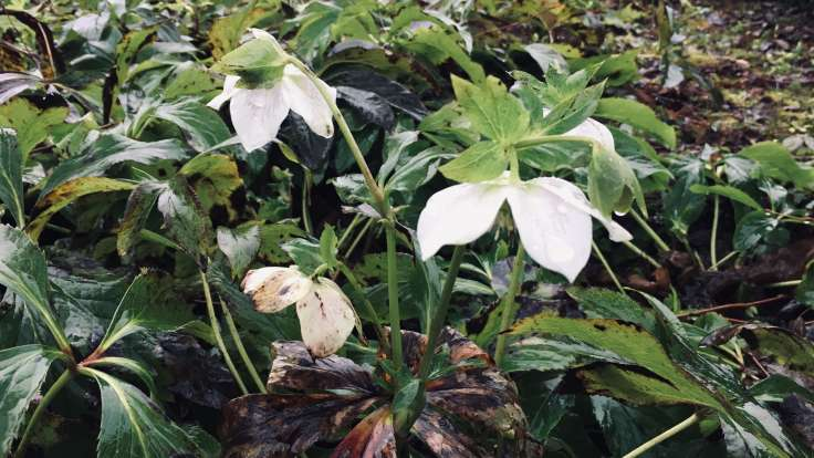 Hanging white flowers of a Hellebore, wet green foliage