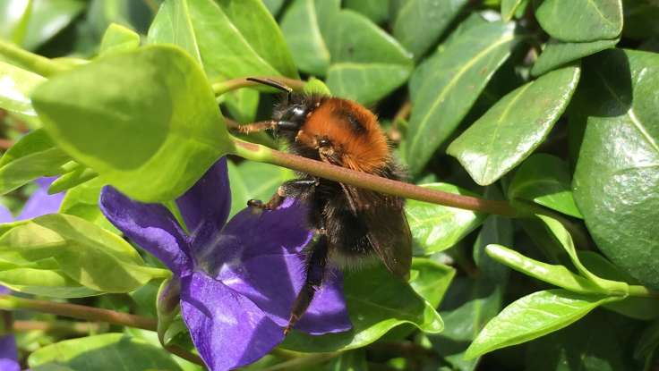 Bumblebee on purple periwinkle flower